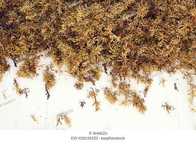 Thick clump of brown Sargassum fluitans sea algae on fine white sand beach in Cancun, Mexico