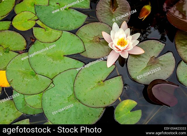 White lotus with yellow pollen on surface of pond nature