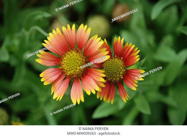 The Indian Blanket Flower Gaillardia aristata, found in Ramna Park, Dhaka Bangladesh 2007