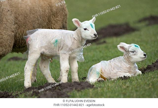 Domestic Sheep, two lambs, protected from weather with plastic coats, Chipping, Lancashire, England, March