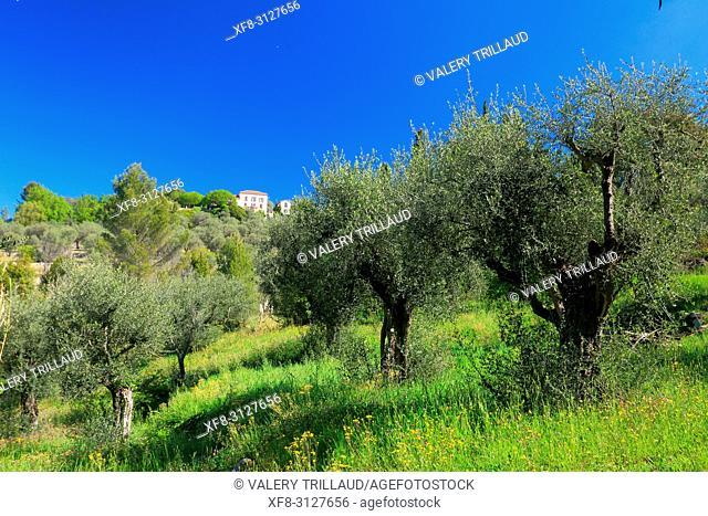 Oliveraie de l'arriere pays Grassois, 06, Alpes-Maritimes, PACA,