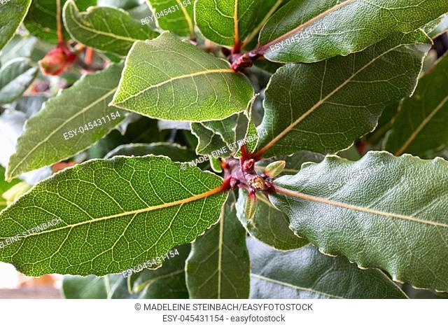 Closeup of a bay leaf plant