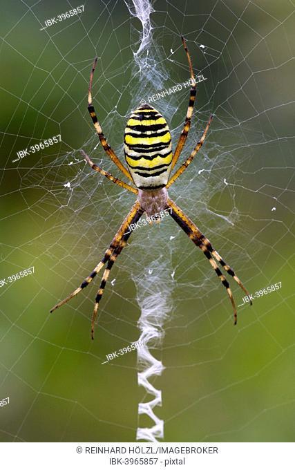 Orb-weaving Spider (Argiope bruennichi), Burgenland, Austria