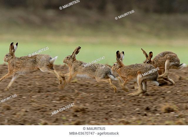 Field hares, Lepus europaeus, field, running