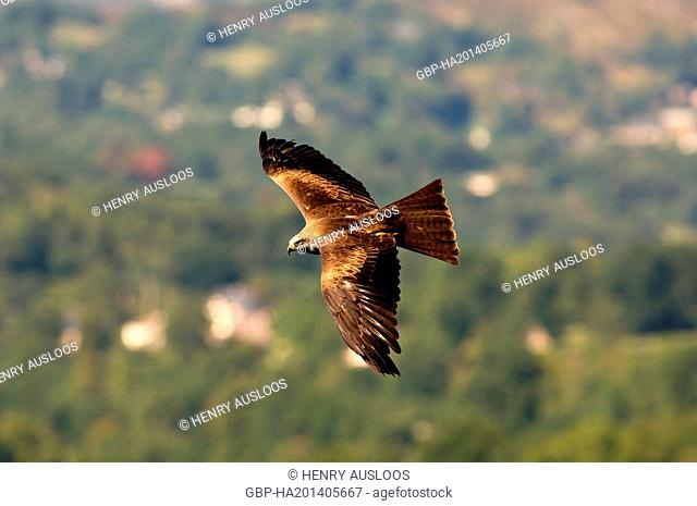 Black Kite, Milvus migrans, flight