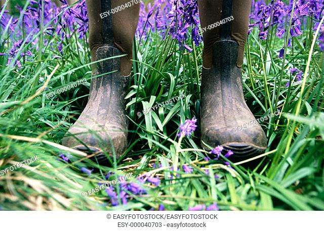 Showing damage caused by uncontrolled tourism in Bluebells field (Hyacinthoides non-scriptus). Ashridge, Herts. England. UK