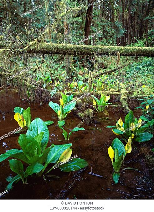 Skunk cabbage growing along edge of rainforest
