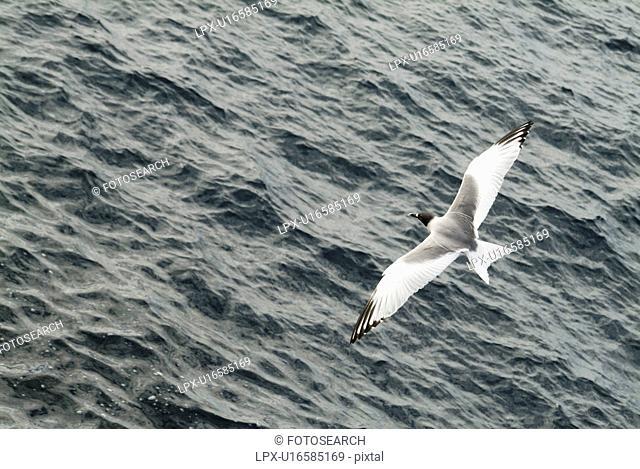 Swallow-tailed gull Larus furcatus. Galapagos