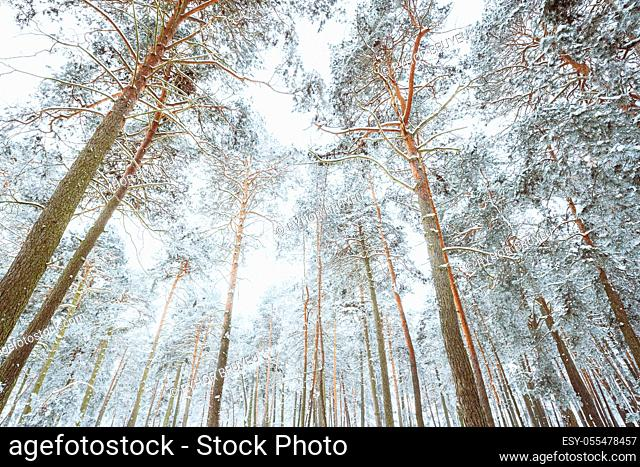 Snow Covered Pine Forest. Frosted Trees Frozen Trunks Woods In Winter Snowy Coniferous Forest Landscape