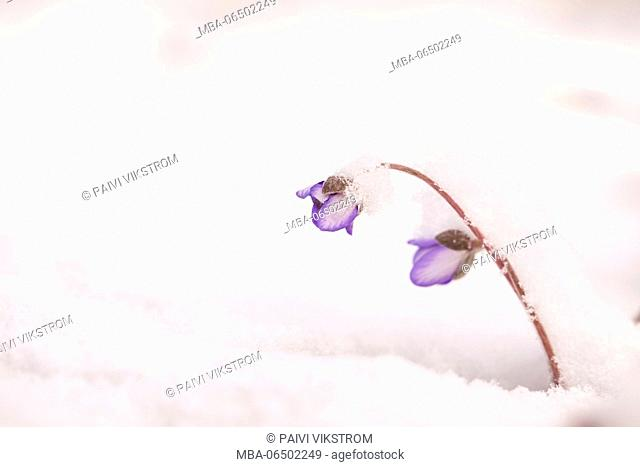 Snow-covered hepaticas (Hepatica nobilis) in the snow