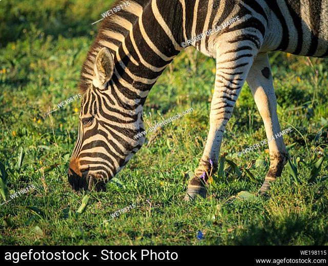 Plains zebra or common zebra (Equus quagga, formerly Equus burchellii) grazing or feeding. Eastern Cape. South Africa