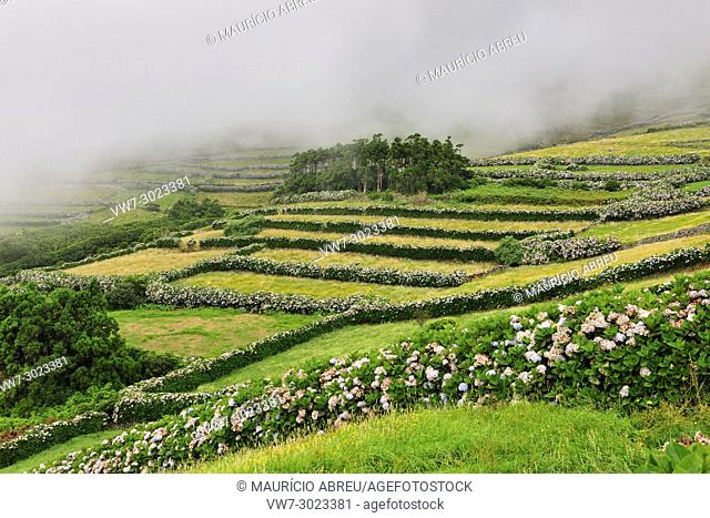Corvo island with hydrangeas. Azores islands, Portugal