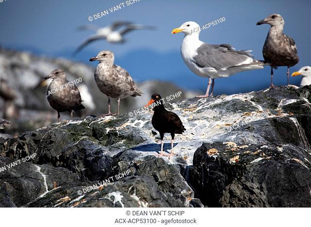 Black Oystercatcher  Haematopus bachmani  and Gulls, Summer, Strait of Georgia, Sunshine Coast, B.C., Canada