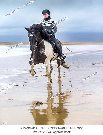 Horseback riding on the coast. Icelandic horse and rider at Longufjorur beach, Snaefellsnes Peninsula, Iceland