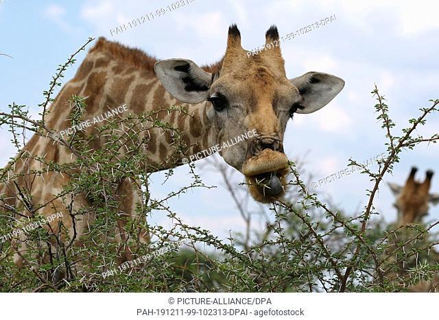 28 November 2019, Namibia, Etosha-Nationalpark: A giraffe eats leaves in Etosha National Park. Photo: Oliver Berg/dpa. - Etosha-Nationalpark/Namibia