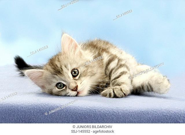 Norwegian Forest cat - kitten lying - cut out