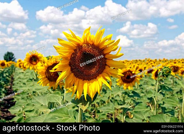 Field of blooming sunflowers on a background cloudy blue sky at bright sunny summer day