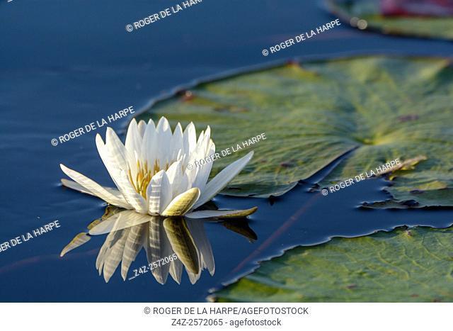 Blue lotus, star lotus, red and blue water lily or blue star water lily (Nymphaea nouchali, or Nymphaea stellata). Okavango Delta. Botswana