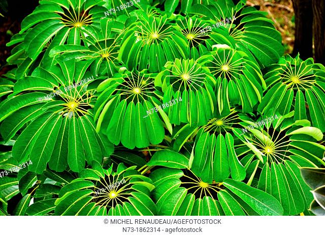 France, West Indies, Guadeloupe, Basse-Terre, Flower