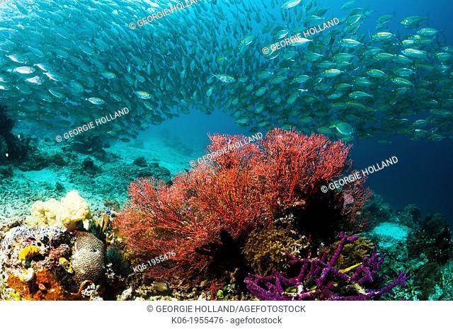 Bigeye scad (Selar crunenophthalmus) school over coral reef. Misool, Raja Ampat, West Papua, Indonesia