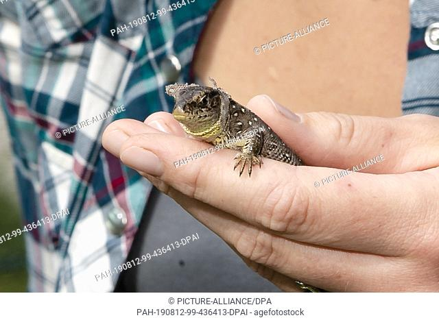 09 August 2019, Schleswig-Holstein, Kiel: An old animal of sand lizards is held in one hand. The Schleswig-Holstein Foundation for Nature Conservation is...