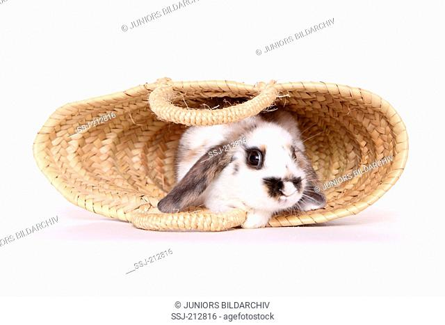 Lop-eared dwarf rabbit looking out from a shopping bag. Studio picture against a white background
