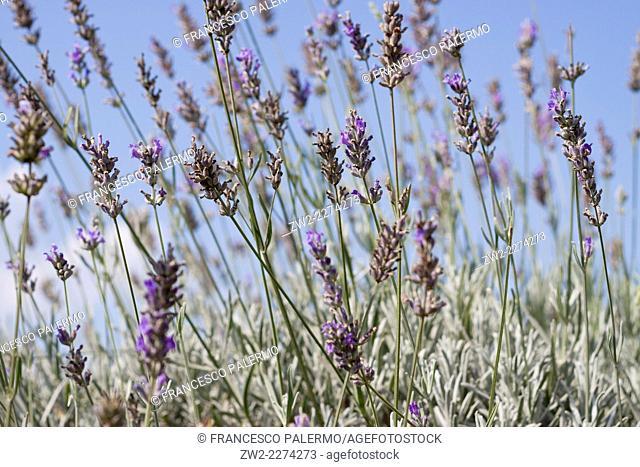 Foreground on flowers of fields lavender. Mouans-Sartoux, Provence-Alpes-Côte d'Azur. France