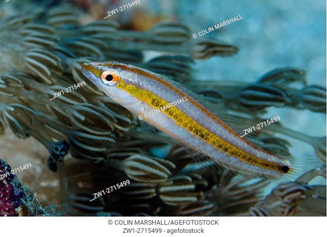 Juvenile Checkerboard Wrasse (Halichoeres hartzfeldii), Pelican Reef dive site, Forgotten Islands, Wuliaru Island, near Tanimbar, Banda Sea, Indonesia