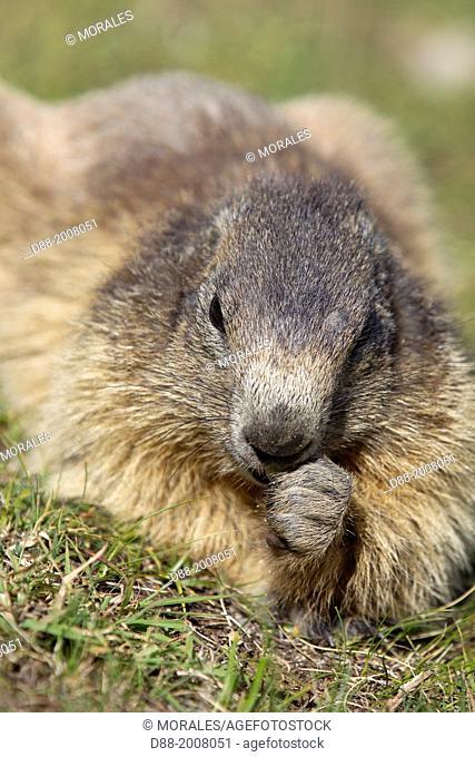 France, Alpes de Hautes Provence , Selonnet , Alpine Marmot (Marmota marmota) ,