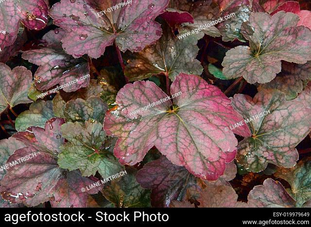 Heuchera micrantha Purpurglöckchen Mint Frost