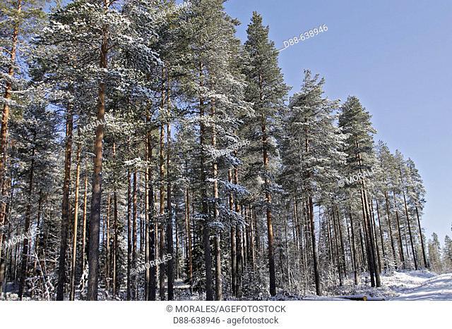 Pine forest. Finland