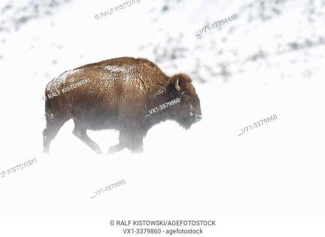 American Bison / Amerikanischer Bison ( Bison bison ) in harsh winter weather conditions, walking through blowing snow over plains of Yellowstone NP, Wyoming
