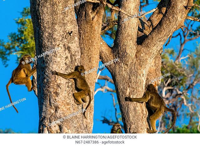 Baboons in trees, Lebala Camp, Kwando Concession, Linyanti Marshes, Botswana