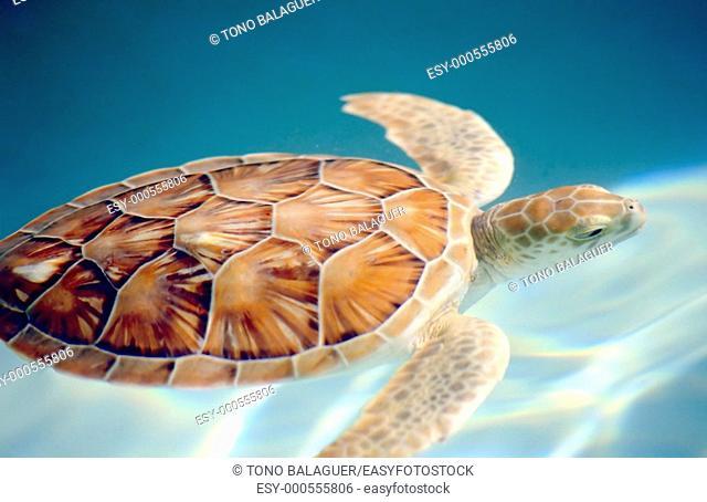 Carey turtle motion blur Caribbean