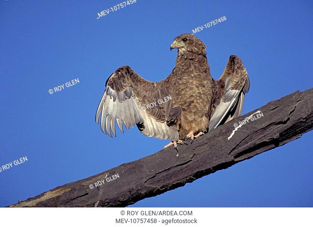 Juvenile Bateleur Eagle - Spreading wings. Typical behaviour of this eagle. (Terathopius ecuadatus)