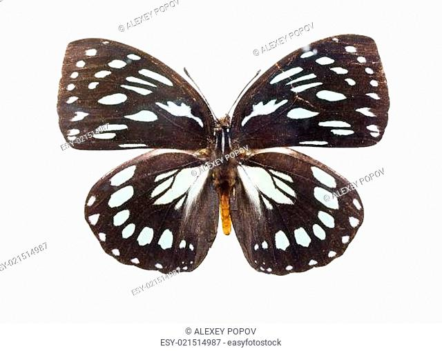Butterfly Euxanthe eurinome