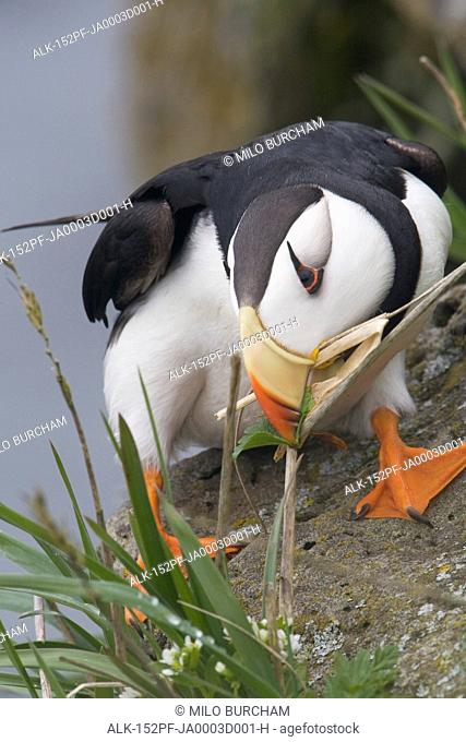 Horned Puffin gathering nest material to line its burrow, Saint Paul Island, Pribilof Islands, Bering Sea, Southwest Alaska