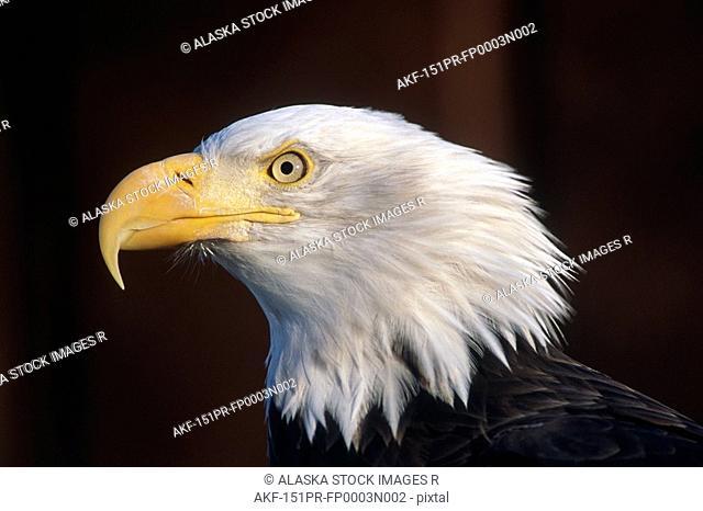 Portrait of Mature Bald Eagle captive Alaska Wild Conservation Center Summer SC Alaska