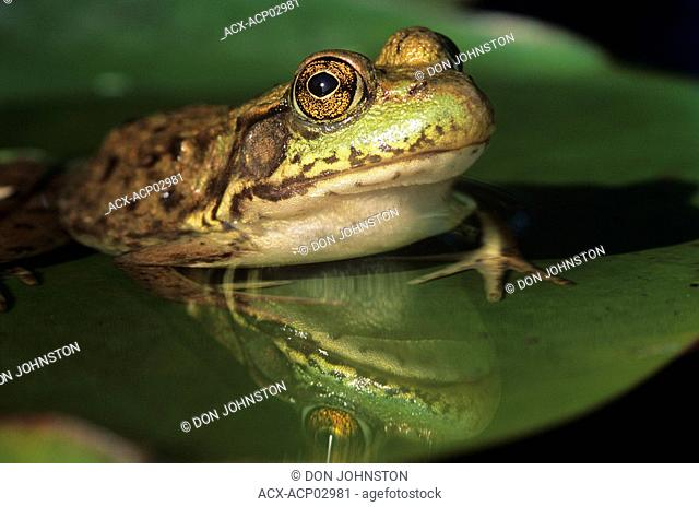 Mink frog rana septentrionalis on lily pad, walden ontario, canada