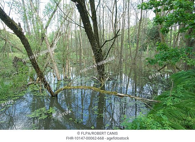 Eurasian Beaver Castor fiber flooded woodland caused by dam, West Bohemia, Czech Republic, june