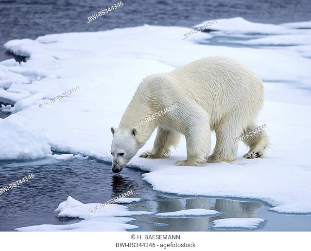polar bear (Ursus maritimus), on sea ice, Norway, Svalbard, Svalbard Inseln, Sjuøyane