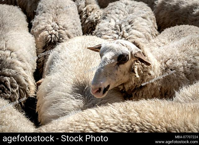 Flock of sheep in Franconia