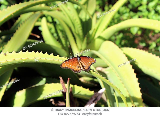 Close up of a Queen Butterfly resting on a aloe vera plant, with wings open, in Arizona, USA