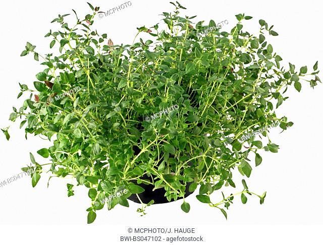 garden thyme, English thyme (Thymus vulgaris), potted plant