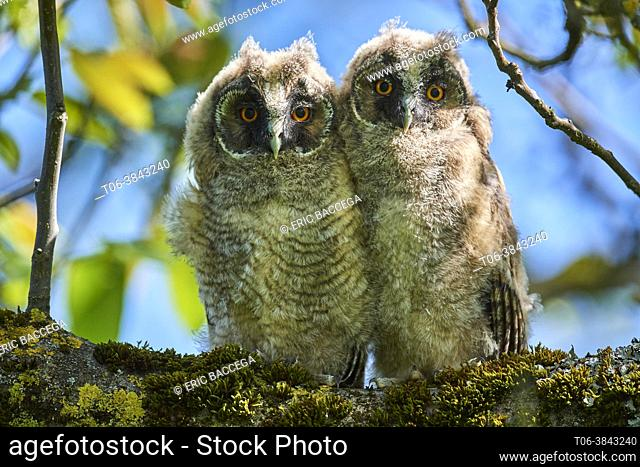 Two Long-eared owl chick (Asio otus) perched in tree. Alsace. France