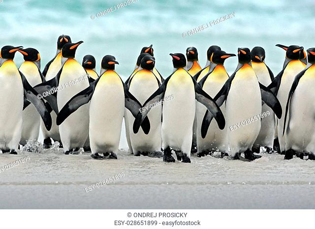 Group of king penguins coming back together from sea