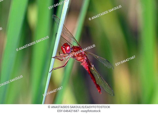 Scarlet Dragonfly - Crocothemis erythraea, Crete