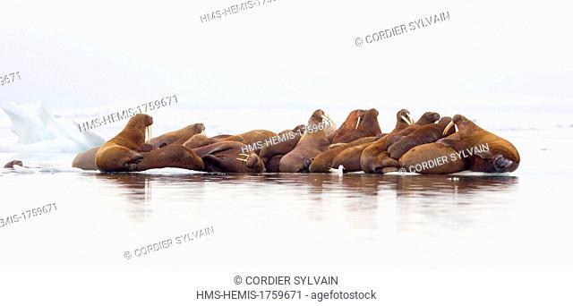 Russia, Chukotka autonomous district, Wrangel island, Pack ice, Pacific walrus (Odobenus rosmarus divergens), resting on ice floe