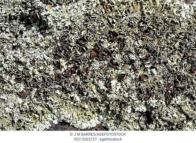 Peppered rock-shield (Xanthoparmelia conspersa). Les Alberes Natural Park, Girona, Catalonia, Spain
