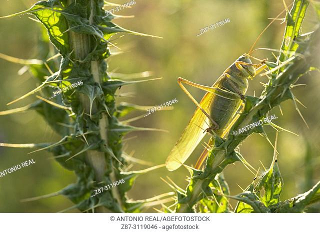 Grasshopper and Milk Thistle (Silybum marianum). Almansa. Albacete. Spain